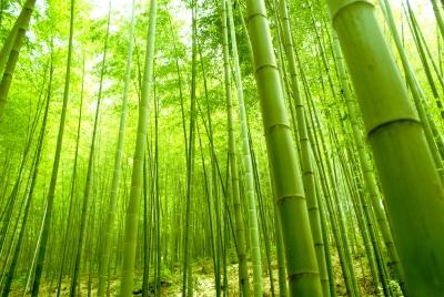 bosque de bambú.jpg